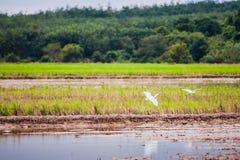 Pássaros que voam sobre o campo do padi Foto de Stock Royalty Free