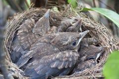 Pássaros recém-nascidos no ninho Imagens de Stock