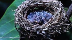 Pássaros recentemente emplumados que bocejam no ninho vídeos de arquivo
