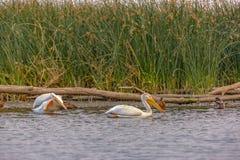 Pássaros recolhidos na água brilhante do lago Utá fotografia de stock royalty free