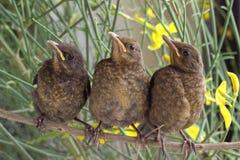 Pássaros selvagens tordo Fotografia de Stock