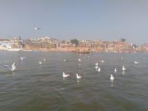 Pássaros Siberian nos ghats de Varanasi fotos de stock