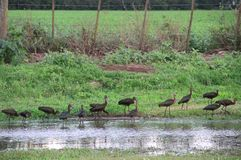Pássaros típicos de Bandurrias de Ámérica do Sul Imagens de Stock Royalty Free