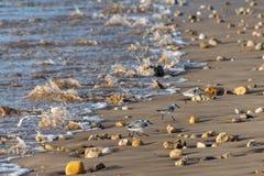 Pássaros vadeando pequenos albas do Calidris dos Sanderlings, correndo acima a praia das ondas entrantes como procuram pelo alime foto de stock royalty free