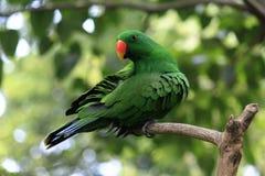 Pássaros verdes da cacatua Imagens de Stock