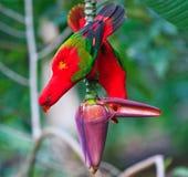 Pássaros vermelhos bonitos do papagaio no jardim da banana Imagens de Stock Royalty Free