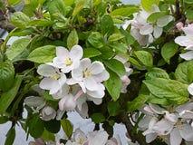 Pâle - fleurs de cerisier colorées de rose et blanches fleurissant en premier ressort photos stock