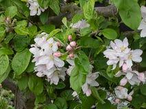 Pâle - fleurs de cerisier colorées de rose et blanches sur un arbre en premier ressort photos stock