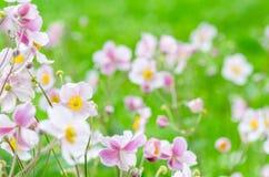 Pâlissez - l'anémone japonaise de fleur rose, plan rapproché Note : Profondeur Photographie stock libre de droits