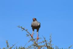 Pâlissez l'autour de chant d'Addo Elephant National Park, le sud Af photo libre de droits