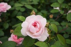 Pâlissez - la rose de rose avec des feuilles foncées moyennes, de vert et un bourgeon non-ouvert, sur un fond brouillé par vert Image libre de droits