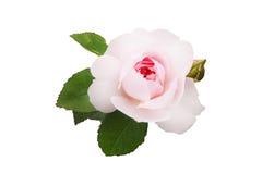 Pâlissez - la rose de rose avec des feuilles foncées moyennes, de vert et un bourgeon non-ouvert, sur un fond d'isolement par bla Photo libre de droits