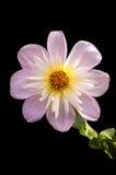 Pâlissez - le dahlia rose Photo libre de droits