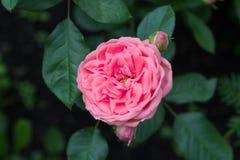 Pâlissez - le rose a monté Photo libre de droits