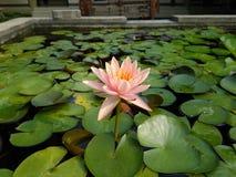 Pâlissez - les fleurs de Lotus roses sur la surface de l'étang Images stock