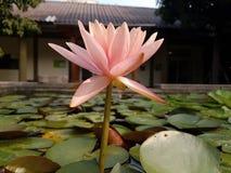 Pâlissez - les fleurs de Lotus roses sur la surface de l'étang Photographie stock libre de droits