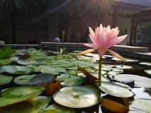 Pâlissez - les fleurs de Lotus roses sur la surface de l'étang Image libre de droits