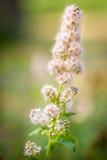 Pâlissez - les fleurs roses sur le soleil de soirée Photographie stock libre de droits