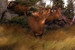 Pânico-Horiz dos cervos Imagens de Stock