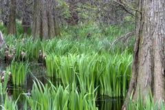 Pântano de Cypress Imagens de Stock