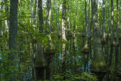 Pântano de Cypress, traço de Natchez, MS Imagens de Stock Royalty Free