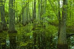 Pântano de Cypress, traço de Natchez, MS Imagens de Stock