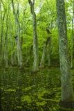 Pântano de Cypress, traço de Natchez, MS Foto de Stock