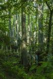 Pântano de Cypress, traço de Natchez, MS Fotos de Stock Royalty Free