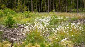 Pântano de florescência na Europa Central Fotos de Stock Royalty Free