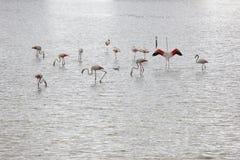 Pântano de sal com flamingos birdwatching Alicante spain foto de stock royalty free
