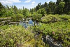 Pântano de turfa perto da cimeira do Mt Sunapee, New Hampshire imagens de stock