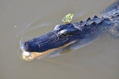 Pântano do jacaré Imagem de Stock