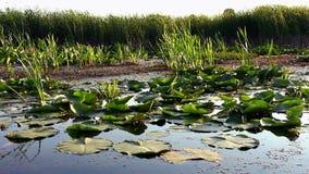 Pântano e folhas de flutuação filme