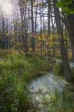 Pântano na floresta de Bialowieski Foto de Stock