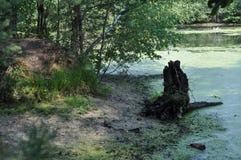 Pântano na floresta, dia de verão foto de stock