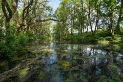Pântano nas madeiras Foto de Stock Royalty Free