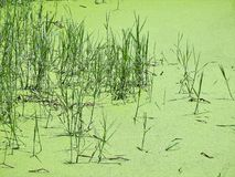 Pântano verde em Tailândia do norte Fotos de Stock Royalty Free