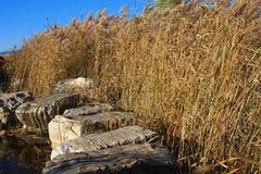 Pântanos de Reed Fotos de Stock Royalty Free