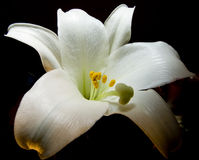 Pâques Lilly Photos libres de droits