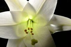 Pâques lilly Photo libre de droits