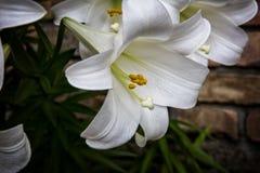 Pâques lilly Photographie stock libre de droits