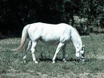 Pâturage blanc de Lipizzaner Photographie stock