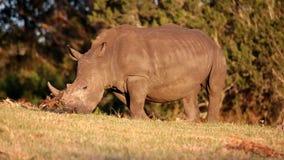 Pâturage blanc de rhinocéros Photographie stock