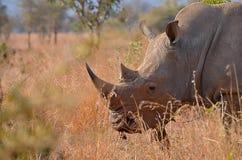 Pâturage blanc de rhinocéros photo libre de droits