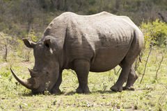 Pâturage blanc de rhinocéros Image libre de droits
