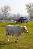 Pâturage blanc de vaches Photographie stock
