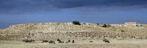Pâturage bleu de wildebeest ou de gnu photo stock