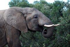 Pâturage d'éléphant d'Addo Photographie stock libre de droits