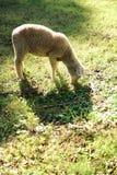 Pâturage d'agneau Image stock