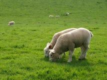 Pâturage d'agneaux Photographie stock libre de droits